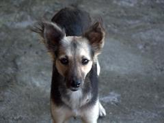 Hungry dog looking for scraps; Comedor Gloriana at Playa Santo Domingo