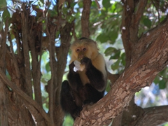 White-faced capuchin monkey munching on someone's leftovers