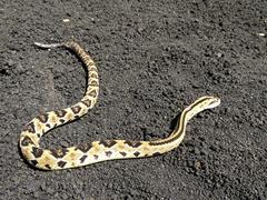 Baby rattlesnake; Cerro Negro