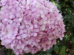 Pretty pink flowers; restaurant next door to Somoto Canyon Tours