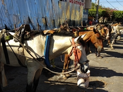 Horses lined up at the market in Leon