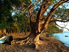 Massive tree growing next to Lake Nicaragua