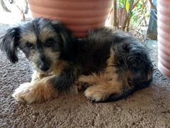 Fluffy puppy; Moyogalpa