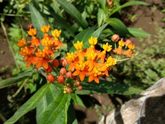 Orange flowers on display; Charco Verde