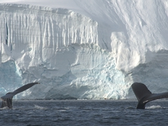 Humpback whales; Wilhelmina Bay