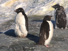 Adélie penguins; Petermann Island