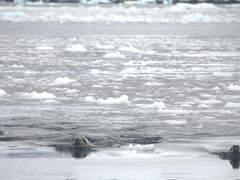 Crabeater seals swimming in brash ice; Fournier Bay
