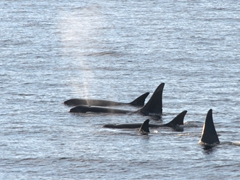 A pod of Type A killer whales