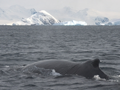 Lots of whale action at Wilhelmina Bay