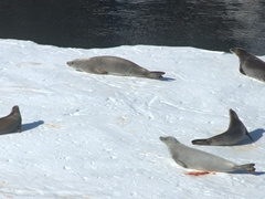 Crabeater seals wake up from their nap on an iceberg as the Akademik Ioffe cruises on by