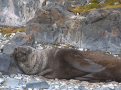 Snoozing fur seal; Robert Island
