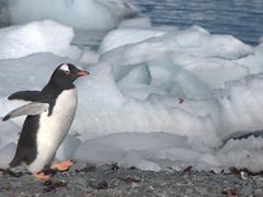 A gentoo penguin strolling past icebergs; D'Hainaut Island