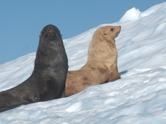 Fur seals on an iceberg; Orne Harbour