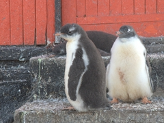 Gentoo chicks at the door to a refuge hut; D'Hainaut Island