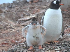 Gentoo chick flapping its wings; Danco Island