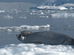 A yawning crabeater seal; Orne Harbour