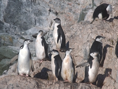 Chinstrap penguin colony; Spigot Rock