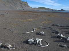Scattered whale bones; Hannah Point