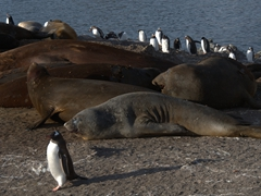 A gentoo penguin strolls past belowing elephant seals