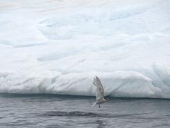 Antarctic tern; Paradise Harbour