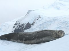 Waddell seal on an iceberg; Cierva Cove