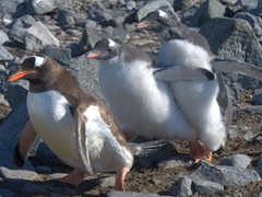 Two hungry chicks chasing their haggard parent to beg for regurgitated krill; Wiencke Island