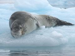 Resting leopard seal; Cierva Cove