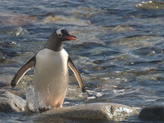 A gentoo popping out of the sea; Cuverville Island