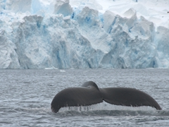 Humpback whale; Paradise Harbour