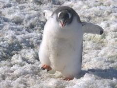 Fluffy gentoo chick begs to be fed; Wiencke Island