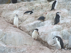 Chinstrap penguins; Cierva Cove