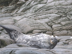 A waddell seal on rocks; Cierva Cove