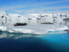 Two leopard seals on an iceberg; Cuverville Island