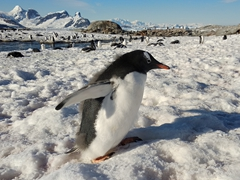 Curious gentoo chick; Petermann Island
