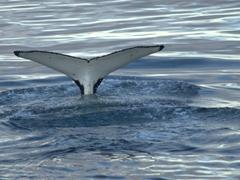 Whale fluke; Orne Harbour