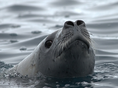 Curious crabeater seal checking us out; Paradise Harbour