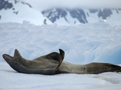 Yawning leopard seal; Paradise Harbour