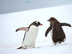 Two penguins pass by each other on a penguin highway; Danco Island