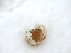 The remains of a penguin egg after a skua attack
