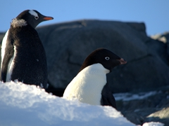 Gentoo and adélie penguin; Yalour Islands