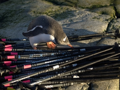 Gentoo penguin checking out our walking sticks; Petermann Island