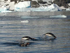Porpoising gentoo penguins; Petermann Island
