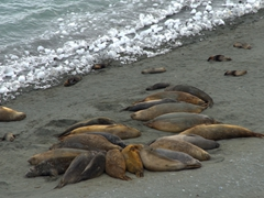 Elephant seals in a wallow; Robert Island