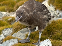 Skua chick; Robert Island