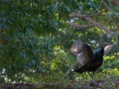 Ocellated turkey; Tikal