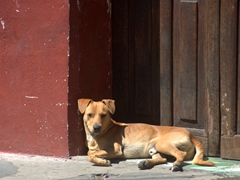 Street dogs in Antigua are surprisinngly well cared for