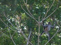 Spider monkey power pose; Yaxha