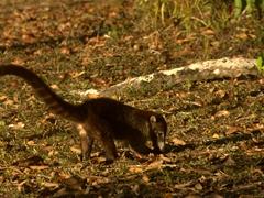 Coatimundi  (a member of the raccoon family); Tikal National Park
