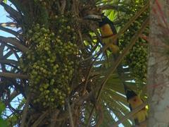 Collared Aracari toucans; Tikal