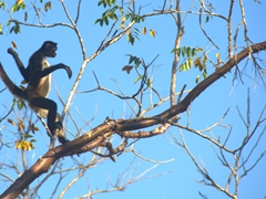 Spider monkey clambering in a tree at the Great Plaza; Tikal